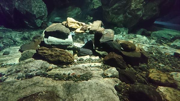 琵琶湖博物館のビワコオオナマズ
