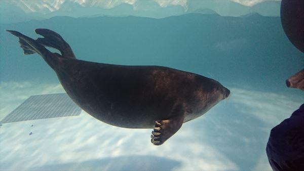 琵琶湖博物館のバイカルアザラシ